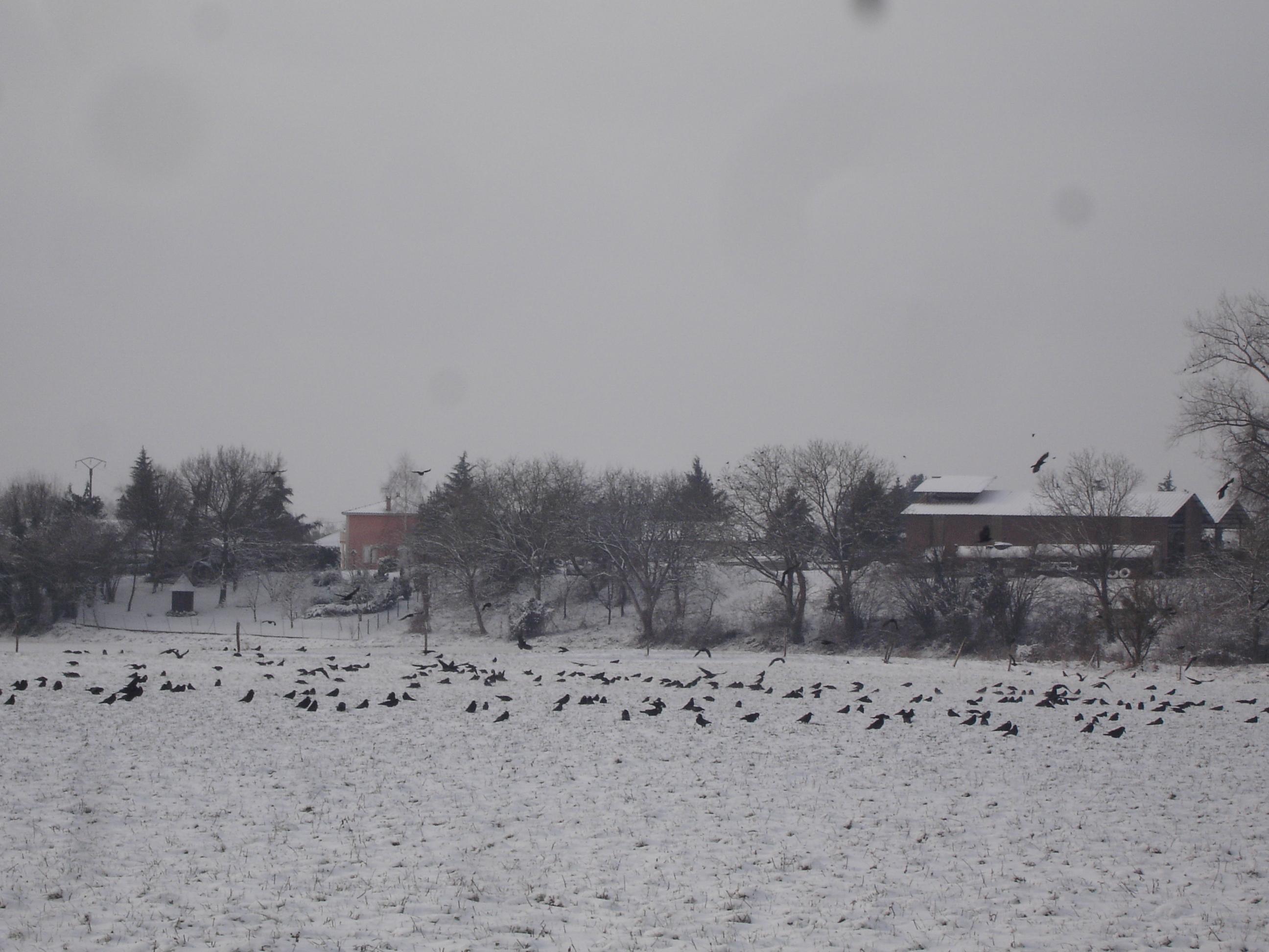"""""""Corbeaux sous la neige à Saint-Maurice-de-Gourdans"""""""